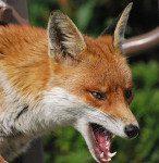 Więcej o: Będą zrzucać szczepionkę dla lisów
